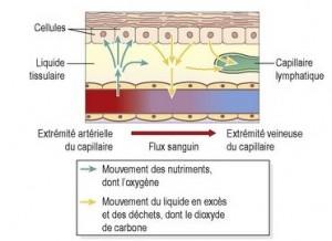capilaires lymphatiques